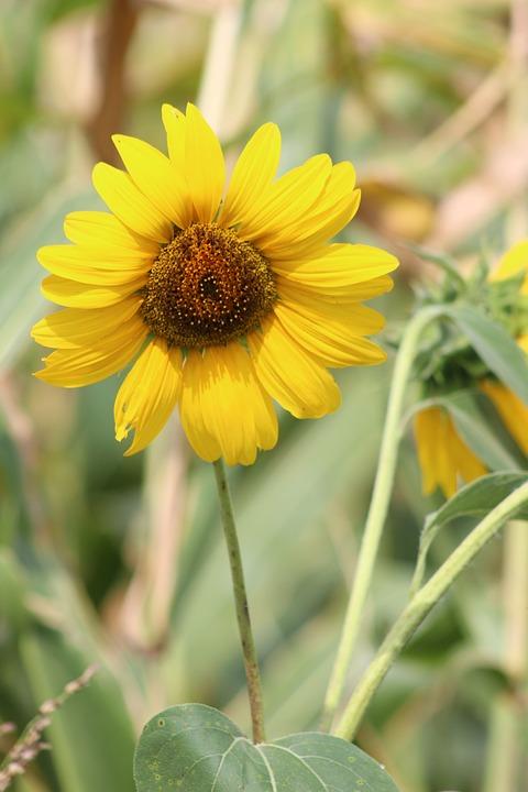 Flower, Sunflower, Summer, Yellow, Garden, Plant