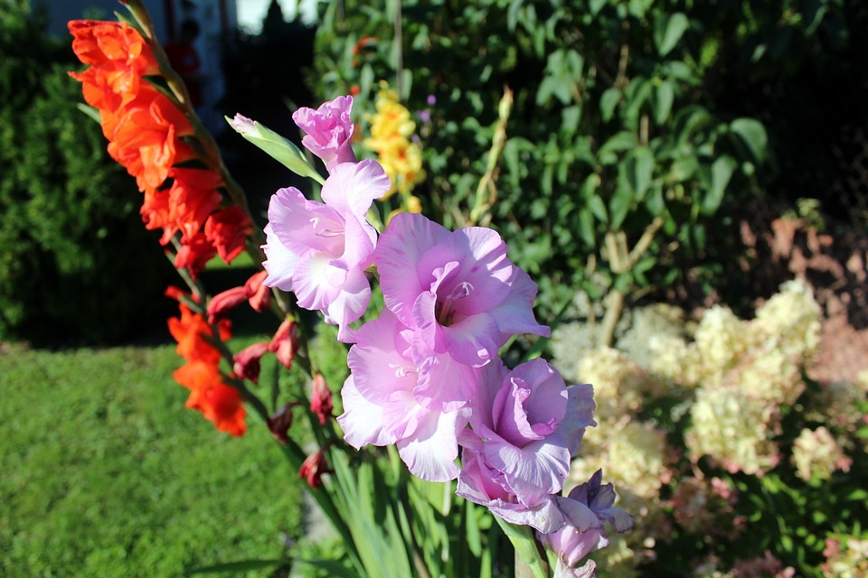 Gladiole, Gladioli, Garden Flowers, Garden, Summer