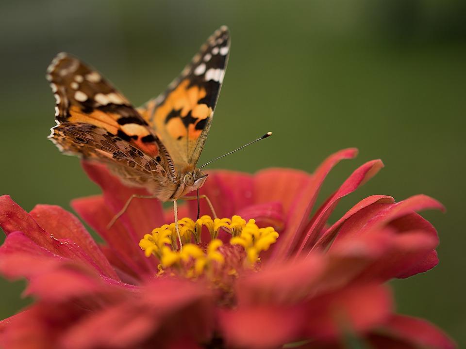 Nature, Butterfly, Flower, Insect, Summer, Garden
