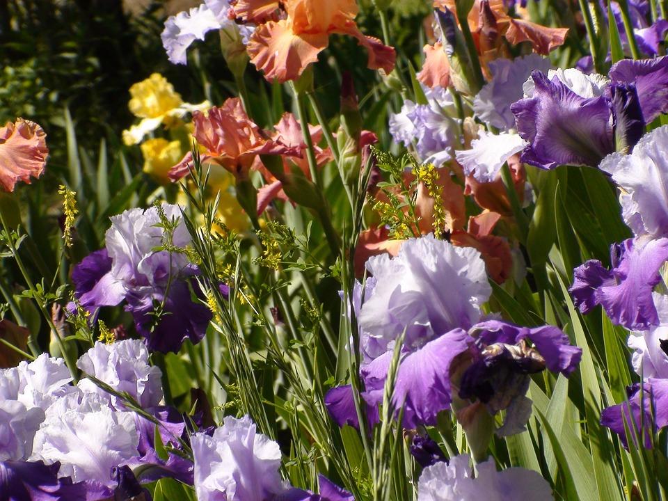 Garden, Irises, Nature, Summer, Beautiful, Natural