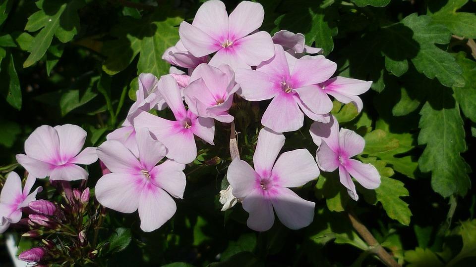 Free photo summer garden phlox flower bush flower bright pink max phlox flower garden flower bright pink bush summer mightylinksfo