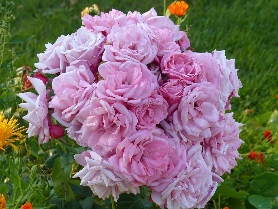 Roses, Pink, Summer, Garden, Romantically, Green