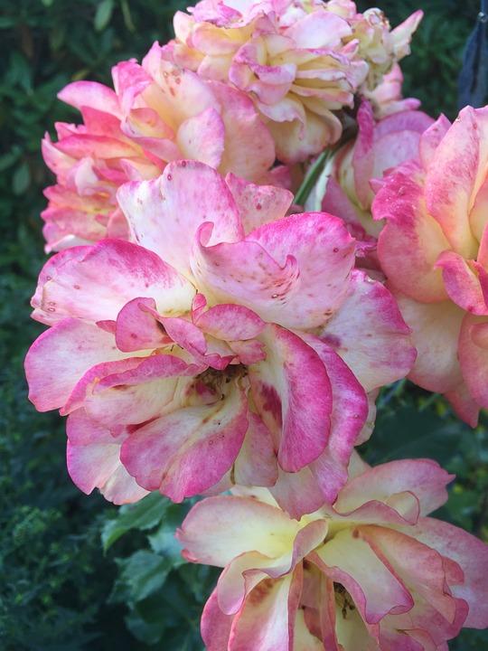 Roses, Garden, Summer
