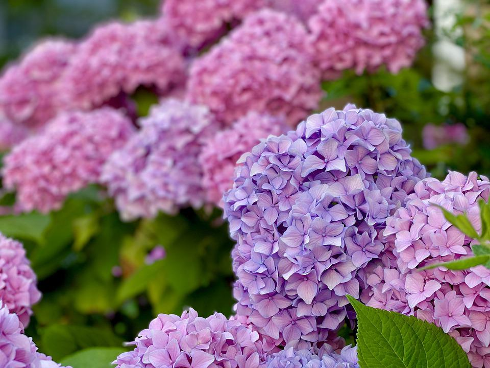 Flowers, Hydrangeas, Petals, Shrub, Garden, Summer