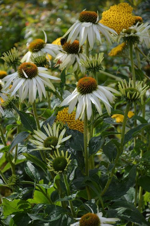 Asteraceae, Flowers, Summer Garden, White, Yellow