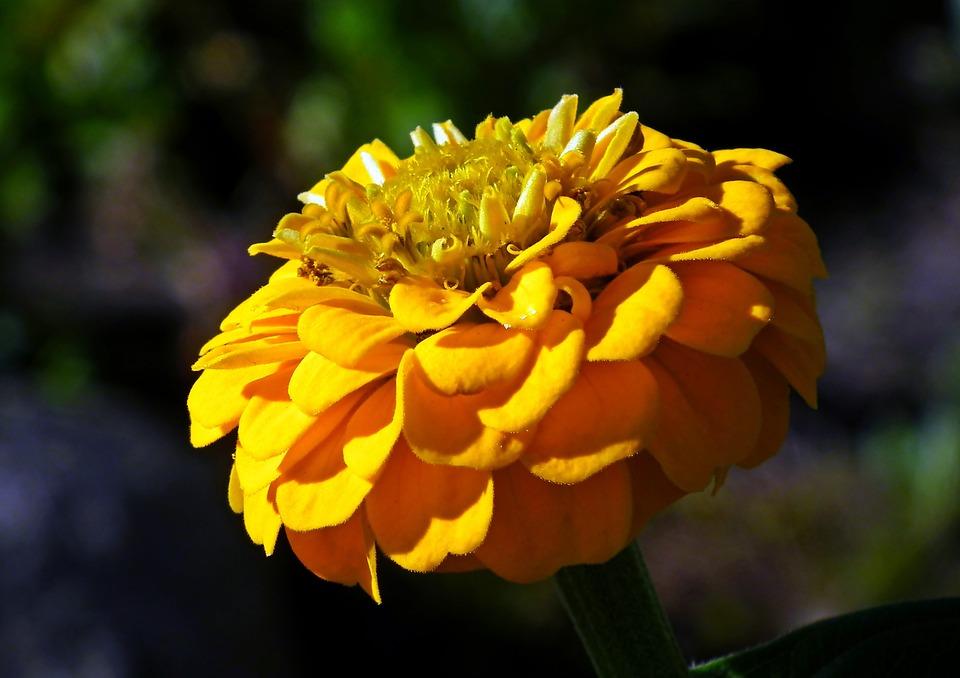 Zinnia, Flower, Yellow, Garden, Summer, Nature