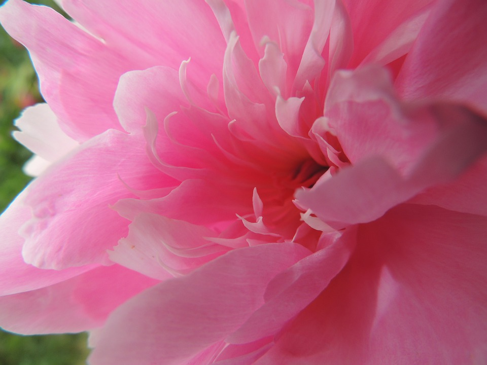 Flower, Pink, Gerbera, Summer, Center
