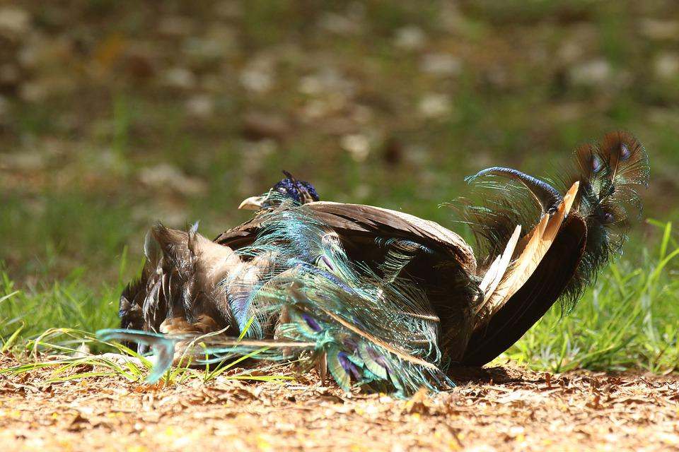 Peacock, Rolling, Grass, Fun, Summer
