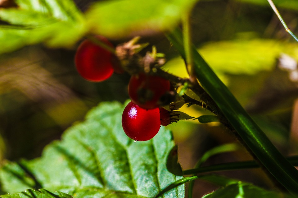Red, Berry, Plant, Green, Color, Summer