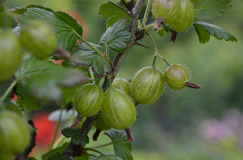 Gooseberry, Fruit, Green, Garden, Summer, Eating