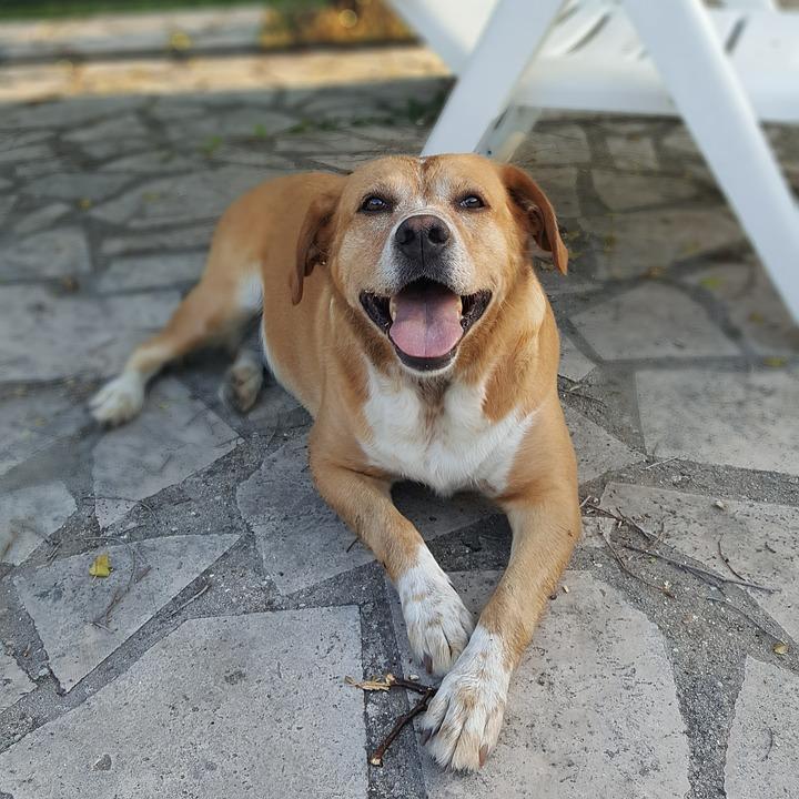 Kira, Half Blood, Labrador, Retriever, Dog, Summer