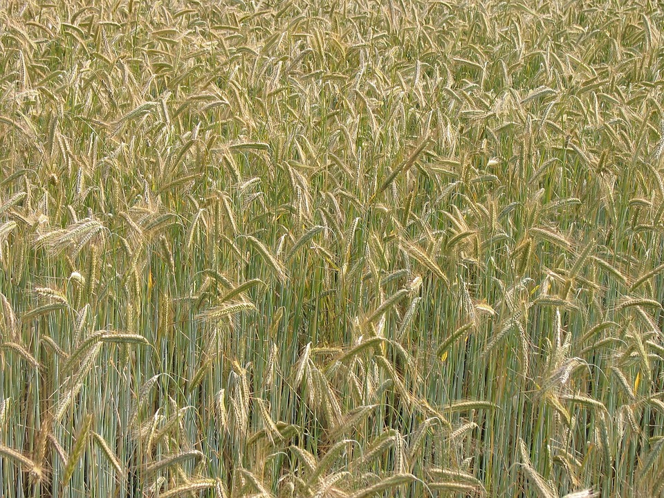 Cereals, Grain, Nutrition, Summer, Agriculture, Harvest