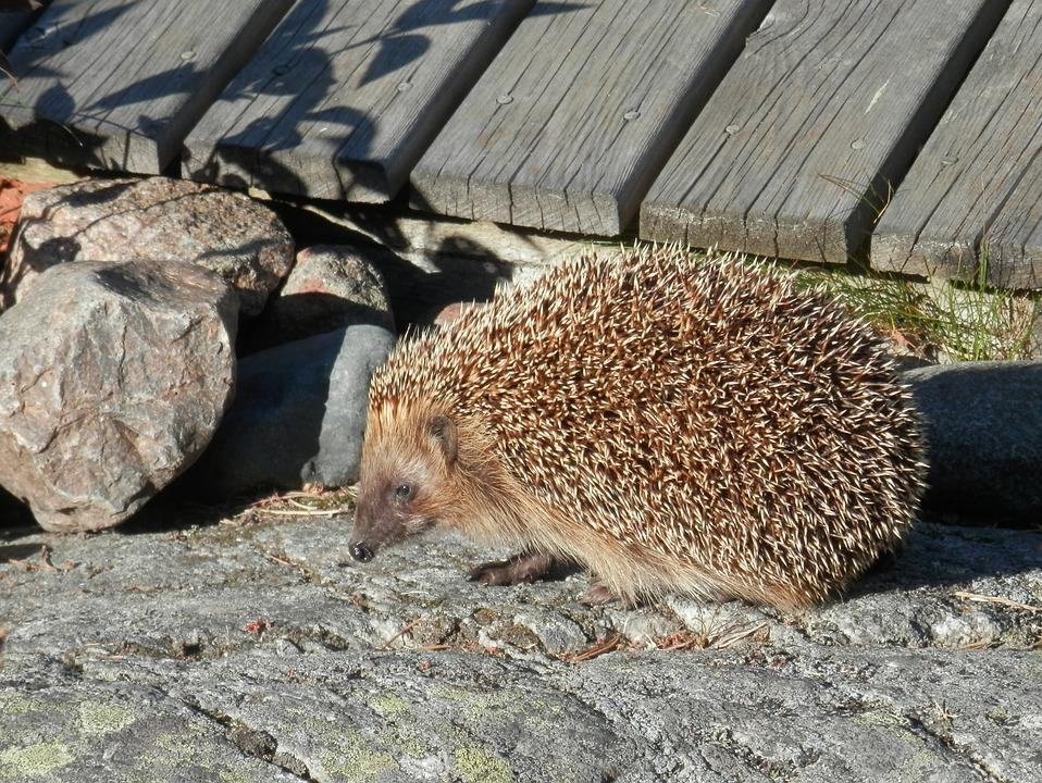 Hedgehog, Summer, Villa