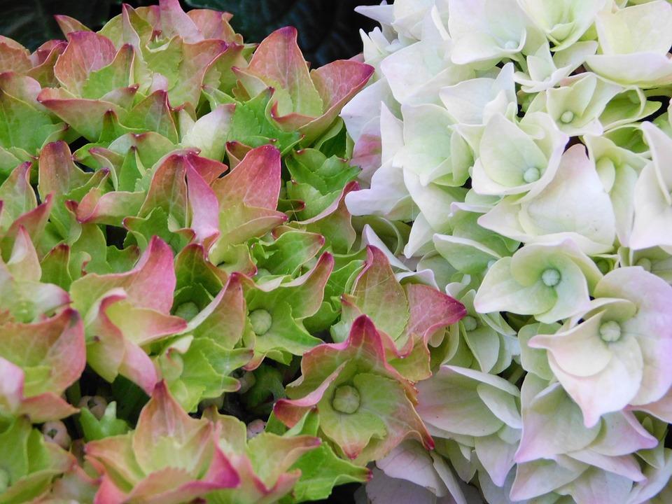 Hydrangea, Flower, Blossom, Bloom, Garden, Summer