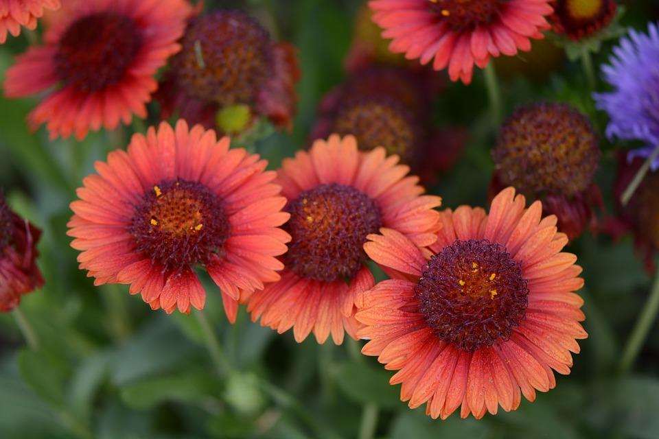 Flowers, Indian Blanket, Firewheel, Nature, Summer