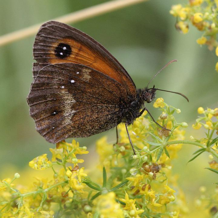 Gatekeeper, Butterfly, Insect, Brown, Summer