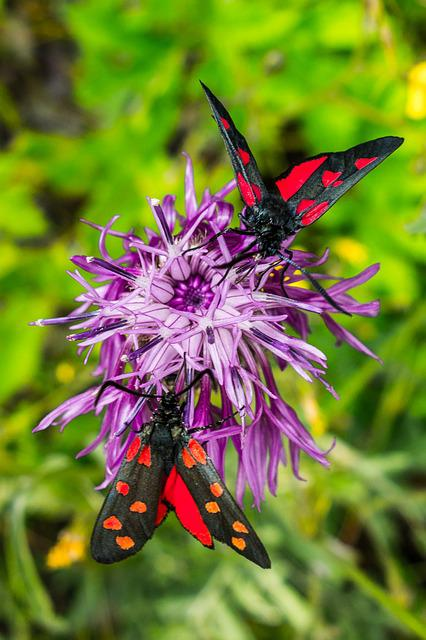Free photo Summer Insect Moth Butterfly Colorful Butterflies - Max Pixel