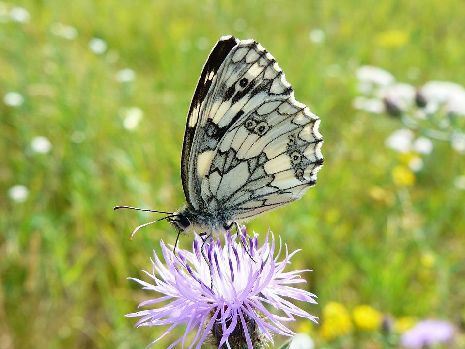 Nature, Insect, Butterfly Day, Summer, At The Court Of