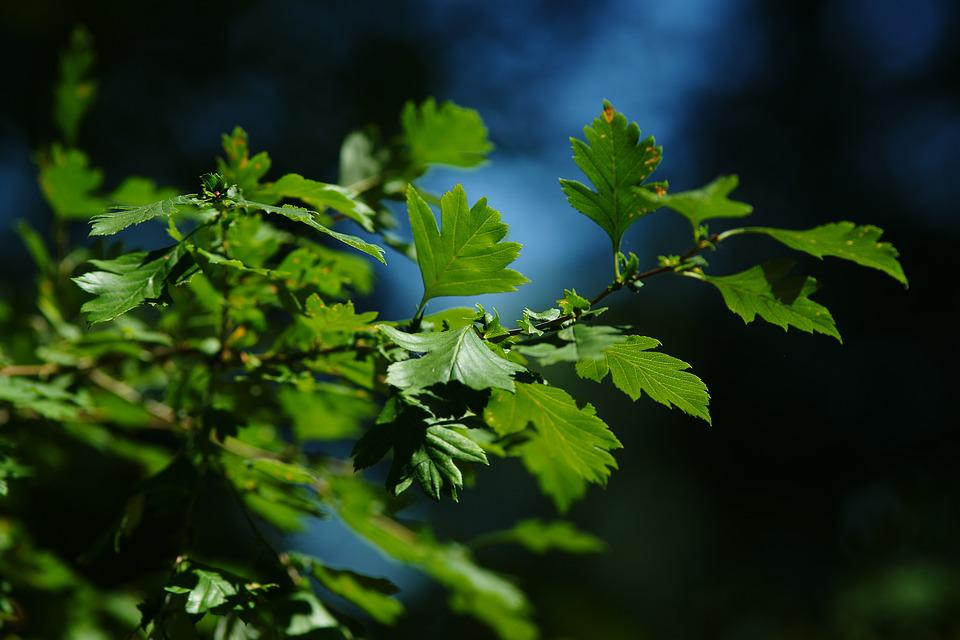 Leaves, Summer, Penumbra, Isolated, Green, Plant