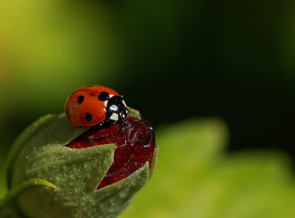 Ladybug, Insect, Beetle, Nature, Leaf, Plant, Summer