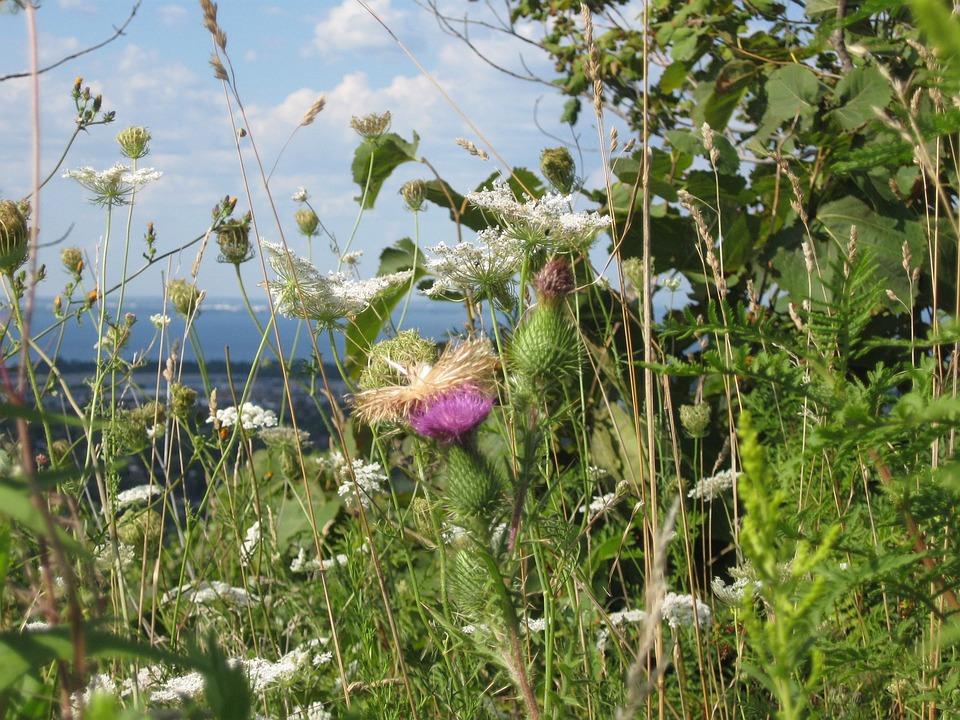 Native, Wild Flowers, Lake, Escarpment, Meadow, Summer