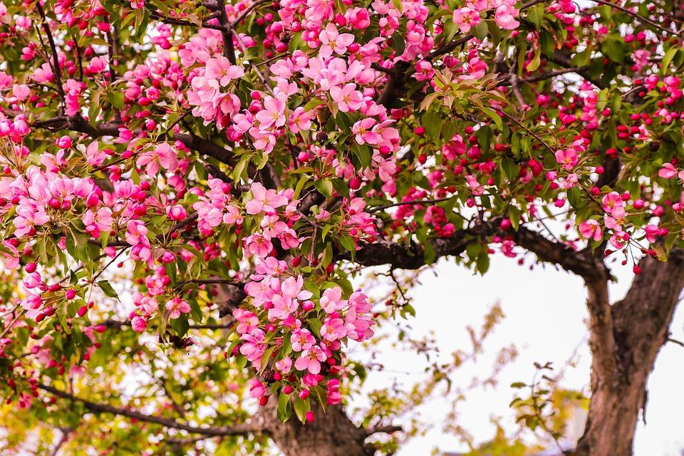 Tree, Landscape, Summer, Trees Pink, Flowers, Pink