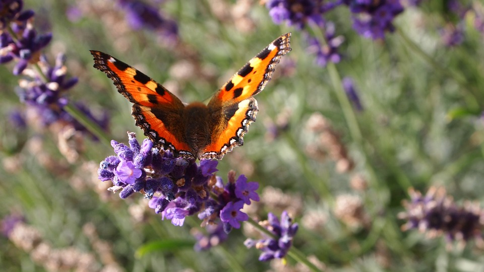 Butterfly, Lavender, Flowers, Summer, Lavender Flowers
