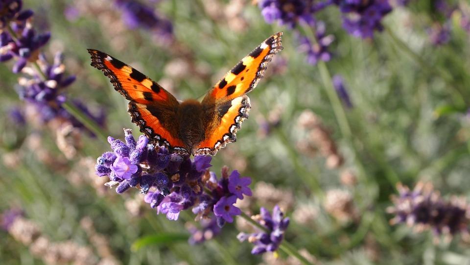 Butterfly, Lavender, Flowers, Summer, Lavender Flowers