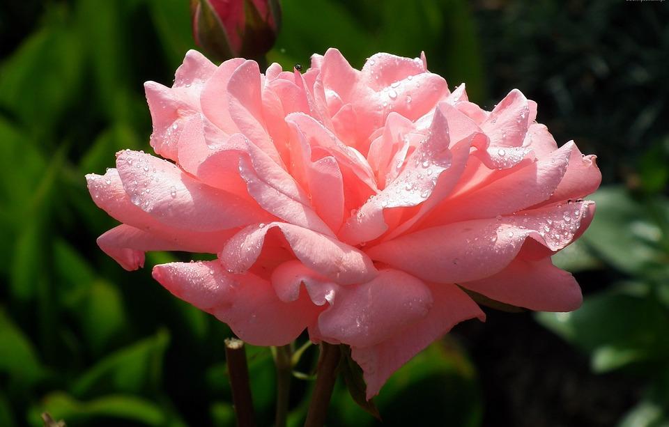 Flower, Rose, Pink, Plant, Nature, Leaf, Garden, Summer
