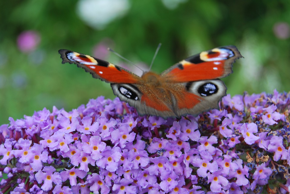 Peacock Butterfly, Summer Lilac, Butterfly, Nature