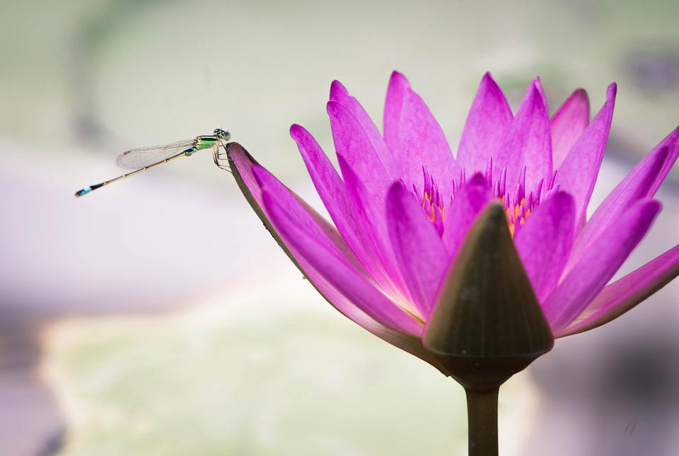 Lotus, Pond, Damselfly, Summer
