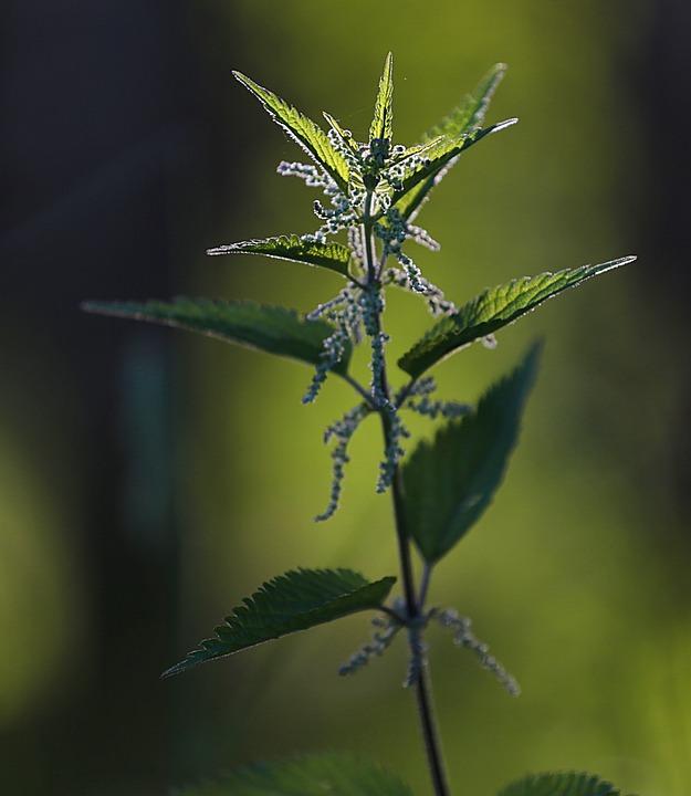 Nettle, Closeup, Macro, Summer, Green, Sheet, Grass