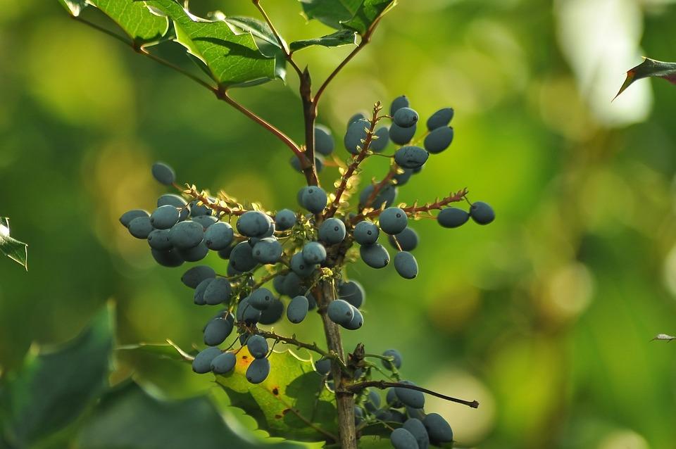 Berry, Mahonia, Blue, Bush, Summer, Greens, Garden