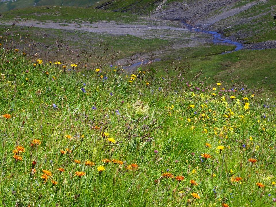 Alpine Flora, Summer Meadow, Alpine, Alpine Flowers