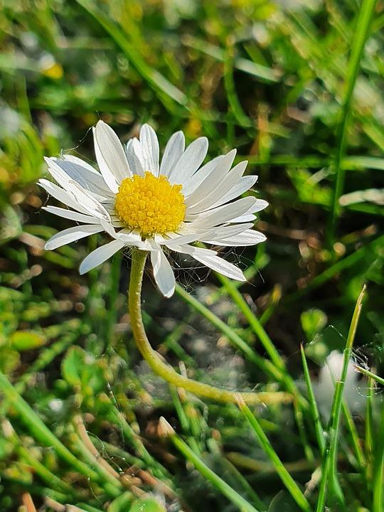 Meadow, Daisy, Flower Meadow, Summer, Joy, Blossom