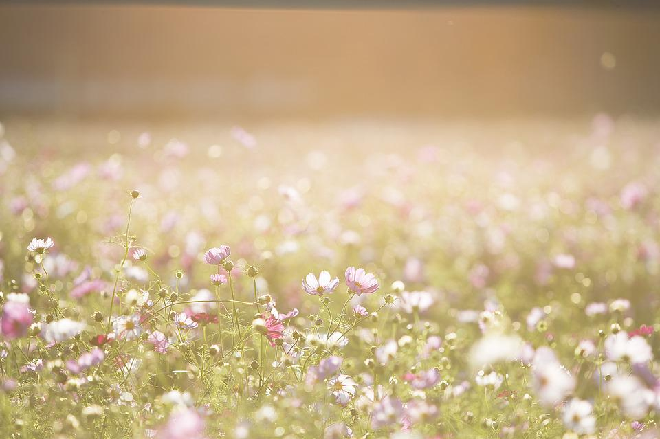 Cosmos Flowers, Flowers, Meadow, Nature, Summer