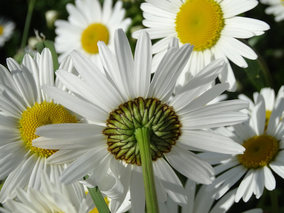 Daisy, Flowers, Meadow, Summer Meadow, Yellow, White