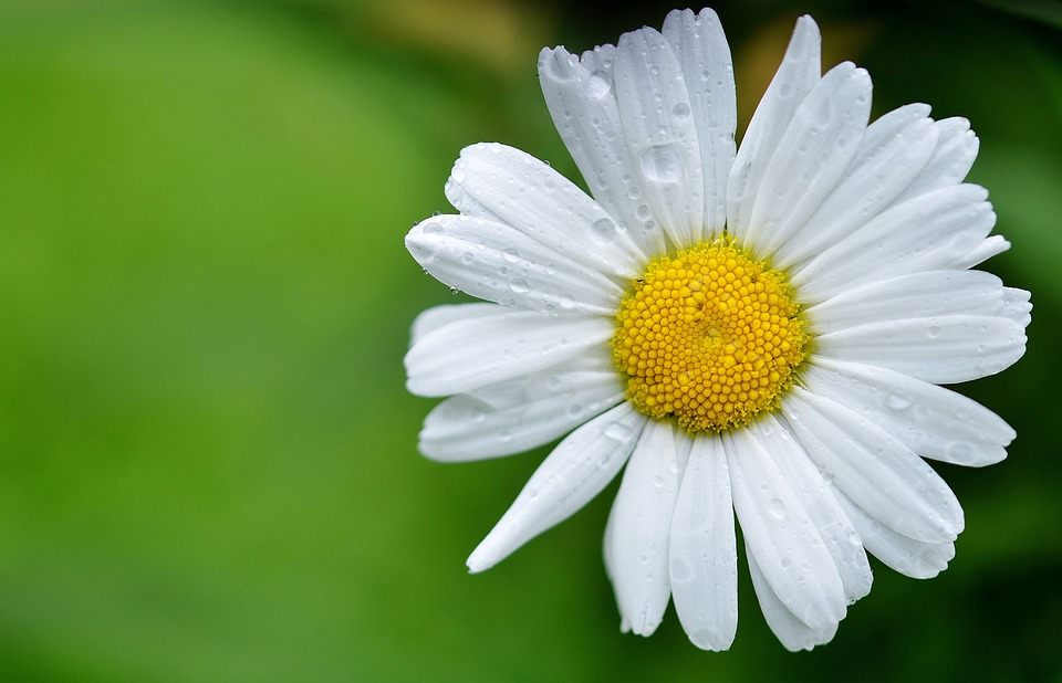 Daisy, Flowers, Meadow, Summer Meadow, Yellow, White