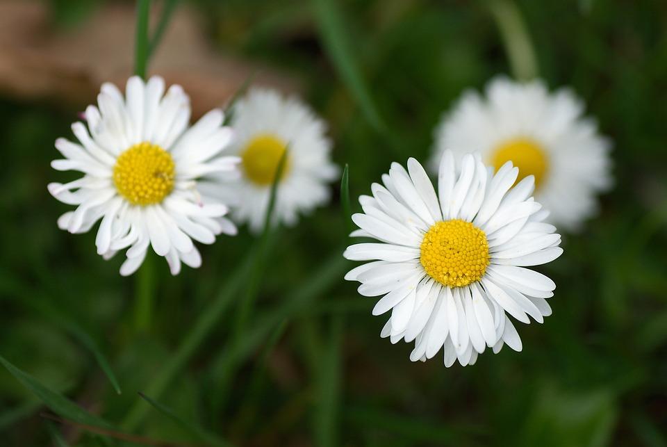 Daisy, Macro, Meadow, Summer, Garden, Outdoor