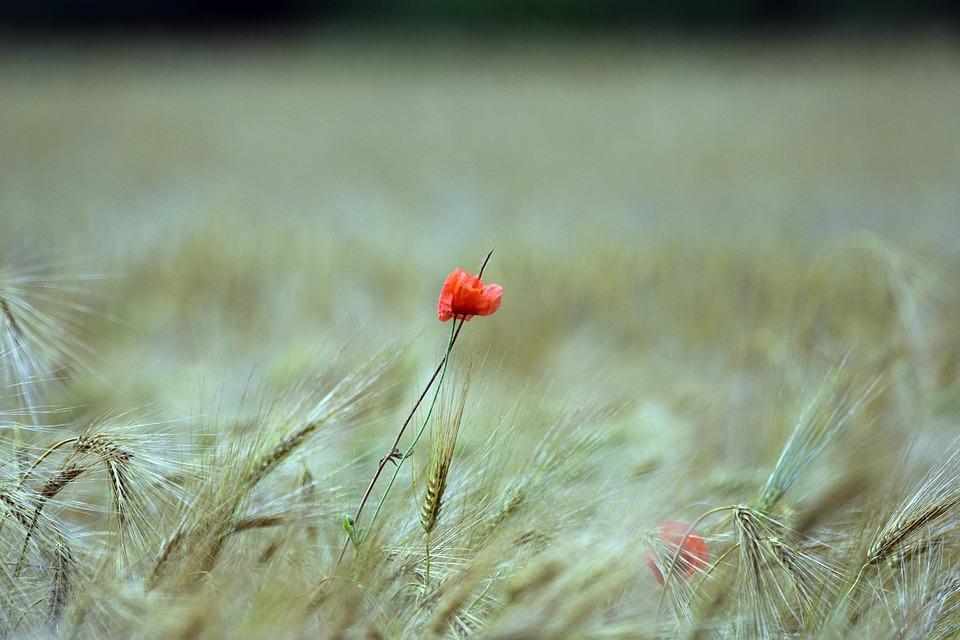 Poppy, Poppies, Summer, Flower, Meadow, Field, Red