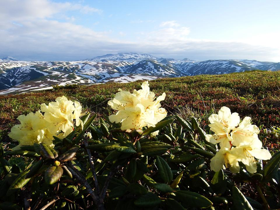 Rhododendrons, Mountain Plateau, Summer, Mountains