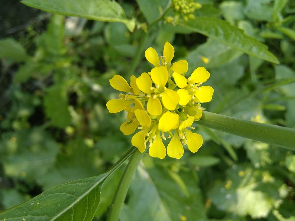 Mustard Flower, Mustard Flowers, Nature, Flora, Summer