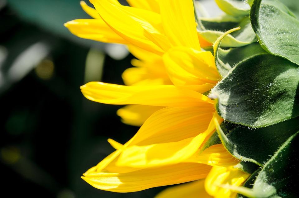 Sunflower, Yellow, Summer, Flora, Napimádó
