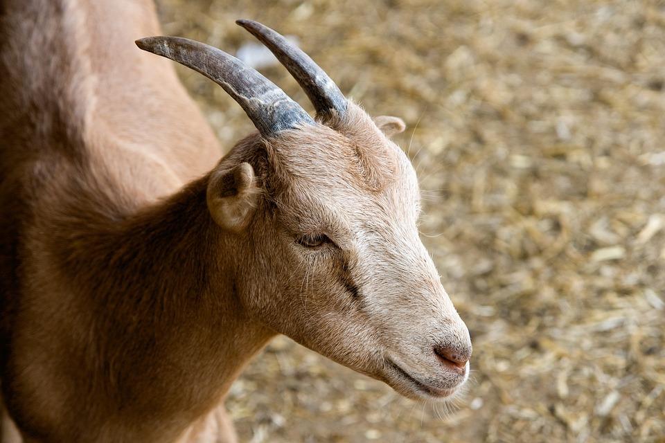 Goat, Animal, Farm, Summer, Life, Brown, Nature
