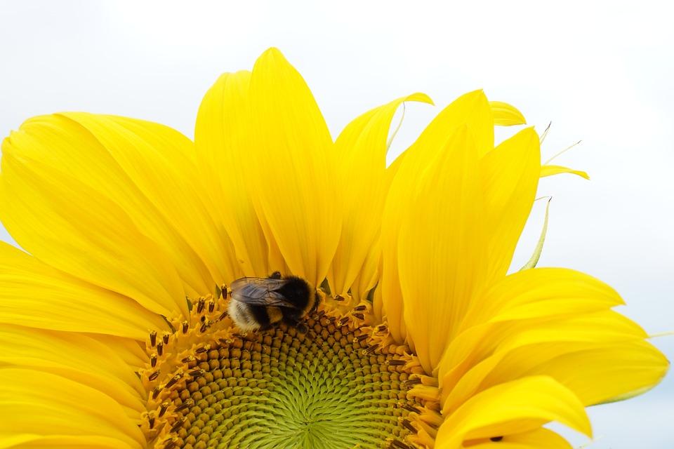 Sunflower, Yellow, Summer, Blossom, Bloom, Nature