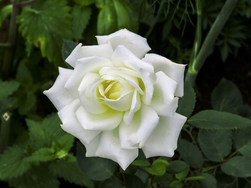 Flower, White, Rose, Summer, Bloom, Nature, Clean