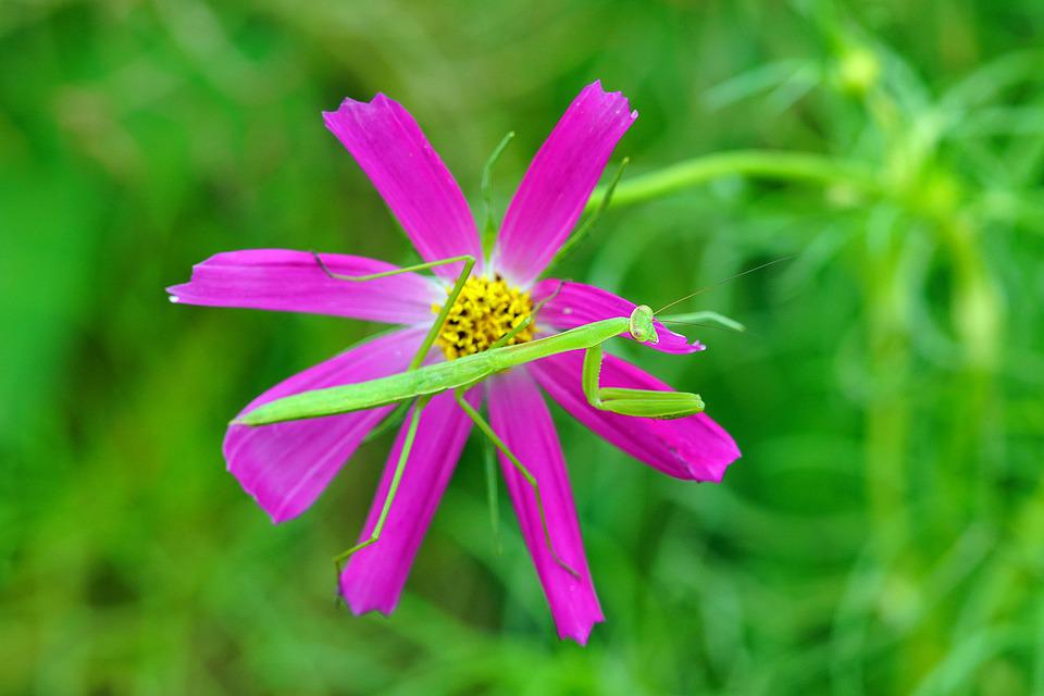 Mantis, Flower, Nature, Cosmos, Summer, Insect