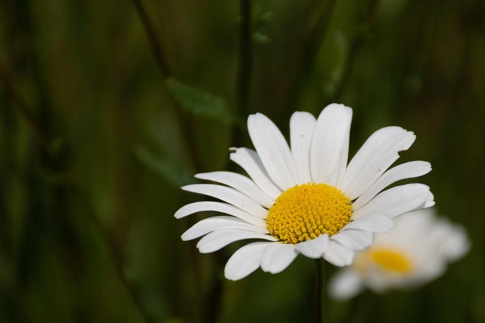 Margriet, Summer, Pollen, Nature, Flower