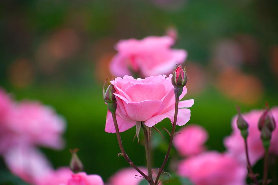 Flowers, Plants, Nature, Garden, Summer, Rose