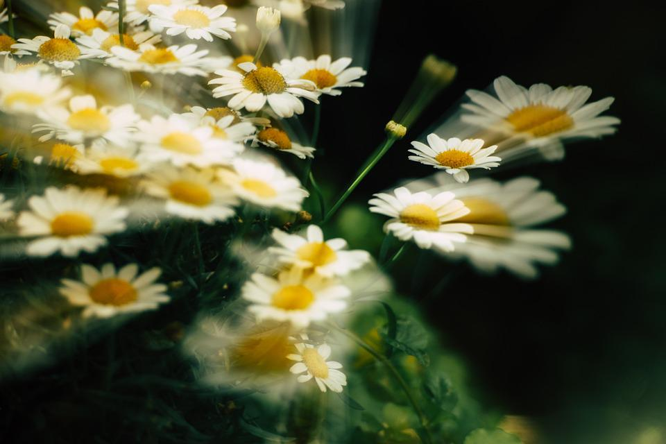 Daisy, Icm, Flower, Nature, Blossom, Summer